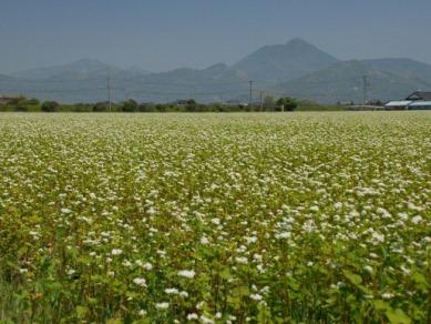 畠口町のソバ畑