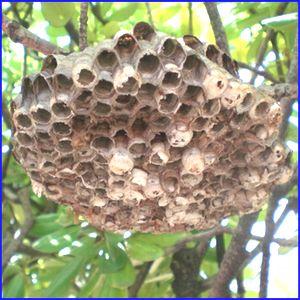 アシナガバチの巣の拡大写真