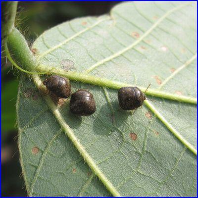 クズの葉の裏はマルカメムシでいっぱいです。