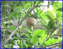 初期のコガタスズメバチの巣です。