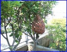 大きくなったスズメバチの巣の写真。貝殻のような模様があります。もっと大きくなるとラグビーボールのようになります。