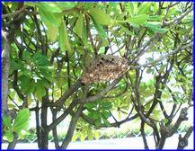 大きくなったアシナガバチの巣の写真。アシナガバチは7月から8月がハチの数がピークとなります。