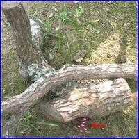 ムカデの生息が多い場所の写真。倒木や落ち葉の下などに産卵します。片付けておきましょう。