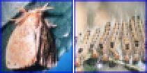 チャドクガの写真。幼虫(毛虫)のときは写真のように集まっています。