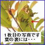 7月中旬の街路樹の写真。葉の裏にはイラガがいっぱいです。