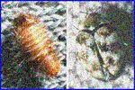 ヒメマルカツオブシムシの写真。幼虫は秋に壁や部屋のスミ(ホコリのなか)でみつかったりします。