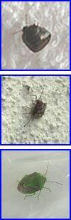 熊本市内で多くみられるカメムシの写真