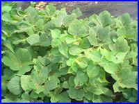 カメムシがつきやすい葉のイメージ。クズという葉。とりあえず似た雑草は葉の裏を見てみましょう。