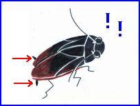 ゴキブリのイラスト。尾枝センサーが後方からの空気の動きを感じます。