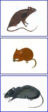 ネズミのイラスト。クマネズミは、もともと繁華街にいましたが、近年住宅地にも多くなりました。