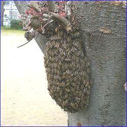 平成23年4月初旬熊本市清水の公園に発生した約2000匹の分蜂の写真