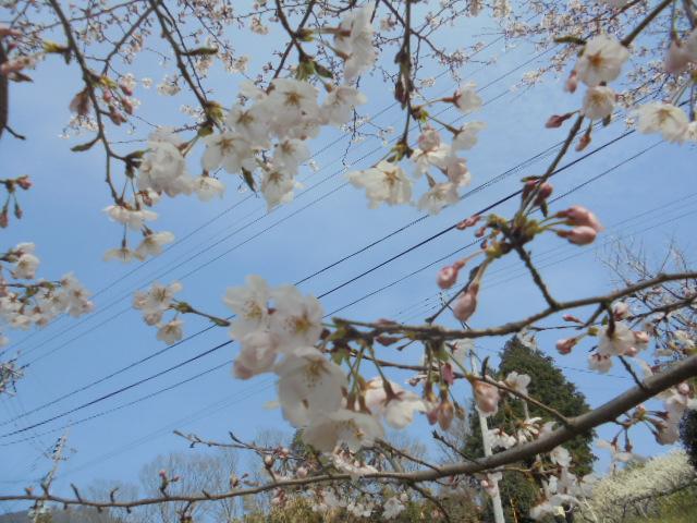 桜20180326