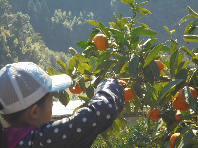 みかんの収穫(2)