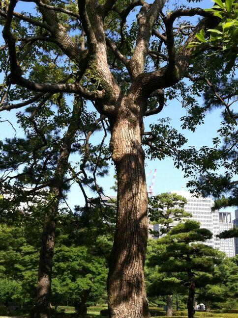 都道府県の木(熊本県:くすのき)