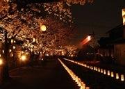 本妙寺桜灯籠