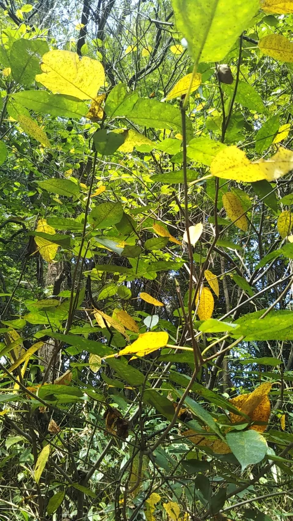 イヌビワの紅葉