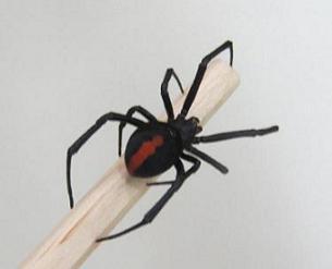 セアカゴケグモ背面の写真