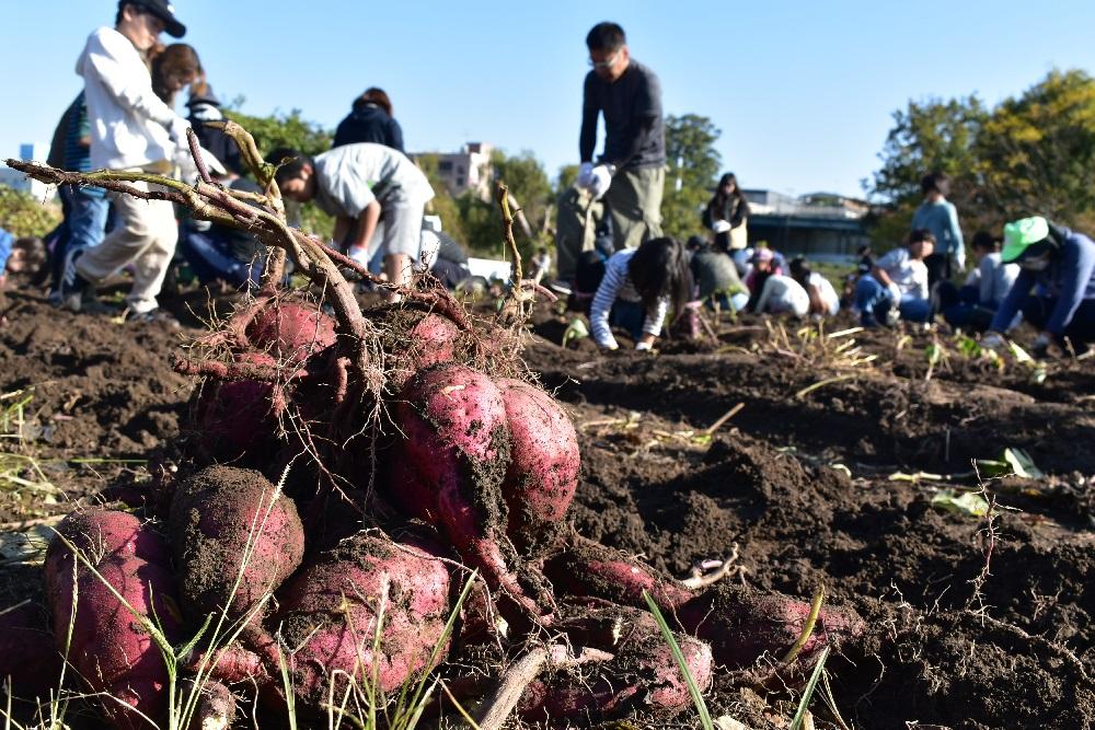 5003 芋収穫