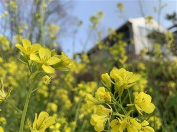 幸せの黄色い菜の花に包まれて