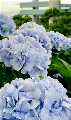 雨降りは紫陽花が主役です!